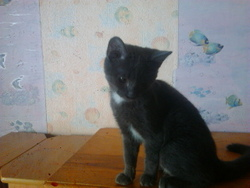 Silvestre, chat Chartreux