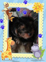 Simba, chien Yorkshire Terrier