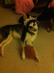 Simba, chien Husky sibérien