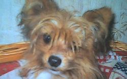 Simba, chien Épagneul français