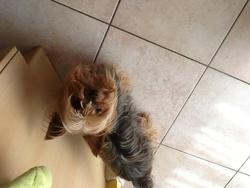 Simba, chien Yorkshire Terrier
