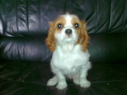 Simba, chien Cavalier King Charles Spaniel