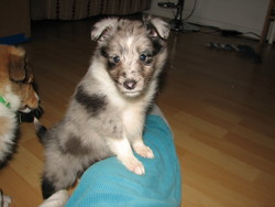 Simba, chien Berger des Shetland