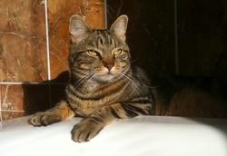 Simba  'Le Géant Des Bois', chat Gouttière
