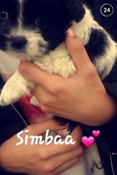 Simba, chien Shih Tzu