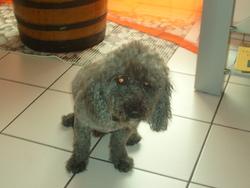 Simba, chien Caniche