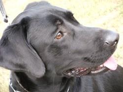 Simba, chien Labrador Retriever