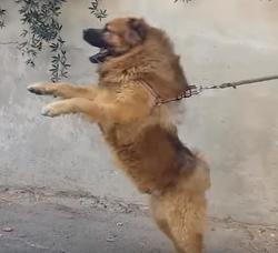 Simba, chien Rottweiler
