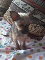 Simba, chien Chihuahua