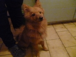 Simba, chien Spitz allemand