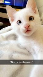 Simba, chat Siamois