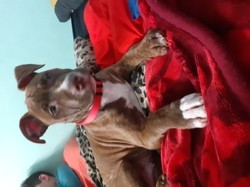 Simba, chien American Staffordshire Terrier
