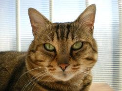Simba, chat Gouttière