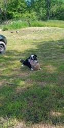 Simba, chien Border Collie