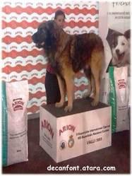 Simba De Can Font, chien Leonberger
