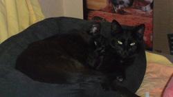 Simba Et Nala, chat Gouttière