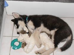 Simbad, chien Husky sibérien