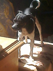 Simmy , chien Pinscher