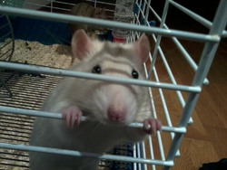 Simon, rongeur Rat