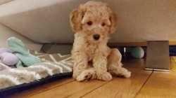 Simon, chien Scottish Terrier