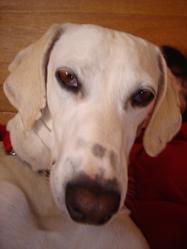 Simone, chien Lévrier espagnol