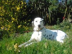 Sin, chien Dalmatien