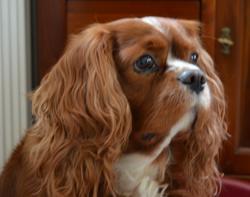 Sinan, chien Cavalier King Charles Spaniel