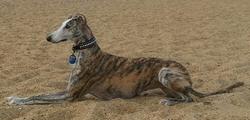 Siréna, chien Lévrier espagnol