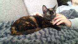 Sirène, chat Européen