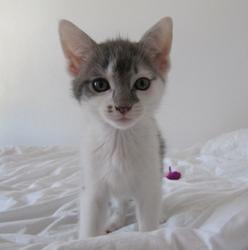 Sirius, chat Européen