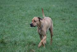 Sirius, chien