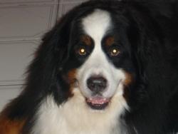 Sirius, chien Bouvier bernois