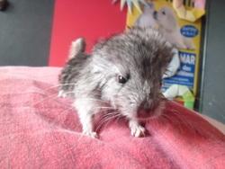 Sirius, rongeur Chinchilla