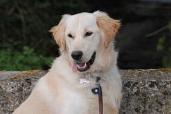 Sirius, chien Golden Retriever
