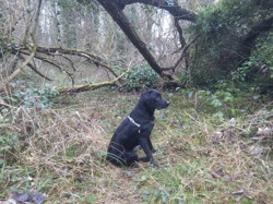 Sirius, chien Labrador Retriever
