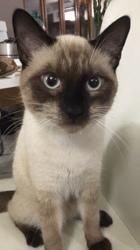Sirius, chat Siamois