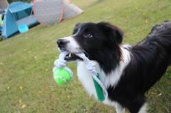 Sirius Black, chien Border Collie