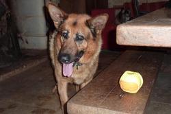 Sisco, chien Berger allemand
