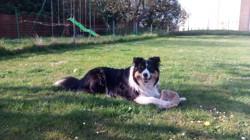 Cisco, chien Border Collie