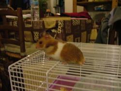 Sisi, rongeur Hamster
