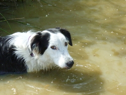 Siska, chien Border Collie