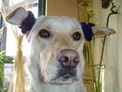 Siska, chien Labrador Retriever