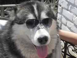 Siska, chien Malamute de l'Alaska