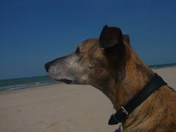 Sisko, chien Lévrier espagnol