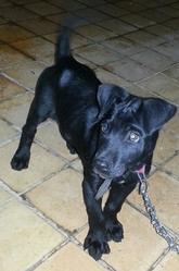 Sisqo, chien Staffordshire Bull Terrier