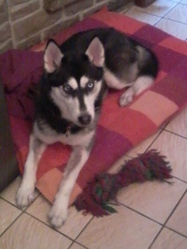 Sissi, chien Husky sibérien