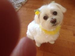 Sissi , chien Bichon maltais