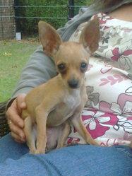 Sissy, chien Chihuahua