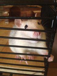 Siva, rongeur Rat