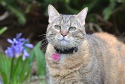 Sivka, chat Européen